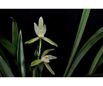Graines Cymbidium ensifolium alba - Patrick POLBOS Orchids