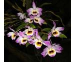 Graines de Dendrobium finlayanum