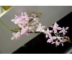 "Flask 15 plantes Phalaenopsis equestris ""aparrii"""