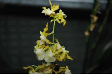 Oncidium hybride jaune et blanc