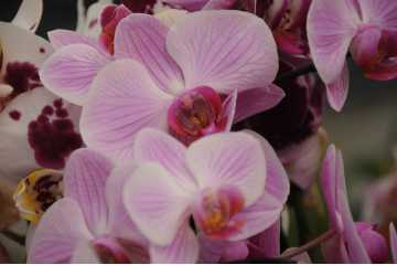 Phalaenopsis rose strié