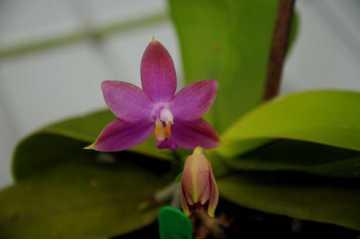 Flask 20 plantes Phalaenopsis violacea