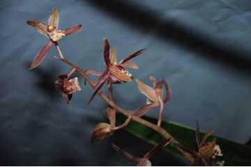 Cymbidium sinense Yang Ming Jing