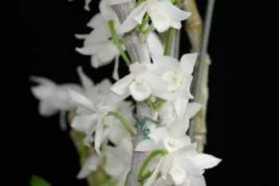 Dendrobium parishii alba