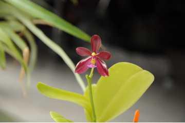 Phalaenopsis Herman Sweet