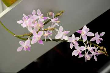 Flask 15 plantes Phalaenopsis equestris