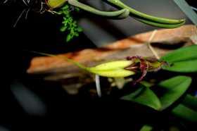 Bulbophyllum fascinator semi alba