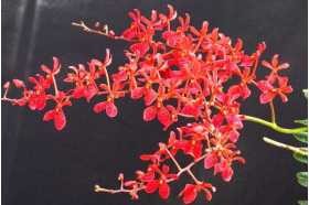 Renanthera kalsom x philippinensis