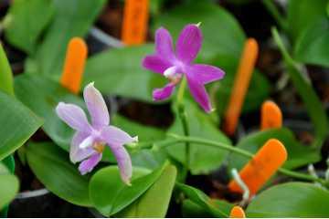 Flask 20 plantes Phalaenopsis Jennifer Palermo