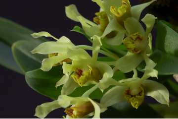 Dendrobium delacourii