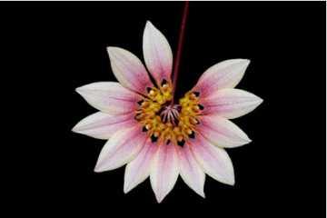 Bulbophyllum flabellum-veneris (lepidum)