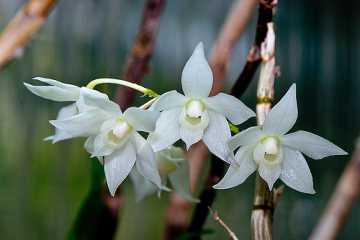 Dendrobium hercoglossum var semi alba