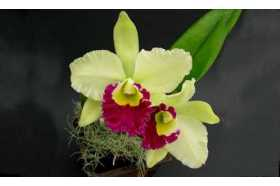 Cattleya Phantom Green