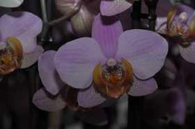 Phalaenopsis rose coeur orange