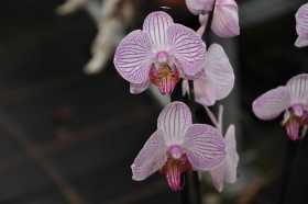 Phalaenopsis rose strié (Blanc strie rose)