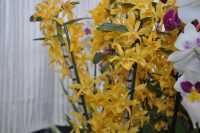 Dendrobium Chiomy