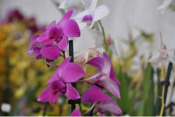 Dendrobium type phalaenopsis fushia