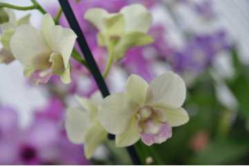 Dendrobium type phalaenopsis jaune pâle label rose