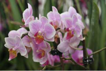 Phalaenopsis white streak pink dots garnet