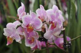 Phalaenopsis bouquet rose blanc label orange
