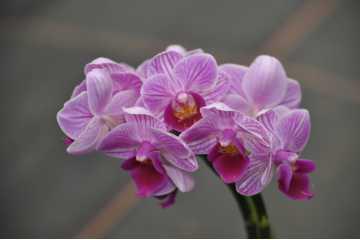 Phalaenopsis miniature rose strie en pot céramique