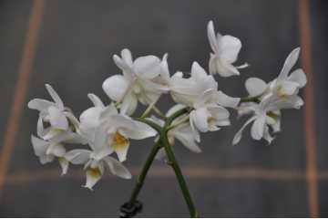 Phalaenopsis miniature blanc