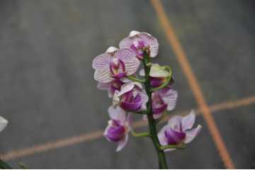 Phalaenopsis miniature white pink streak