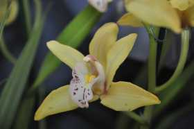 Cymbidium Light yellow hybrid
