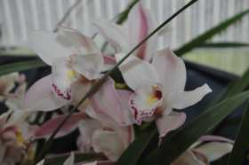 Cymbidium pinkish white hybrid