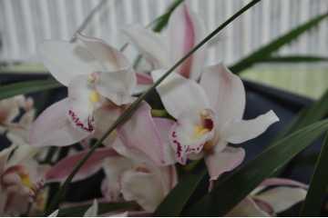 Cymbidium hybride blanc rosé