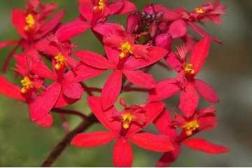 Epidendrum Red Star