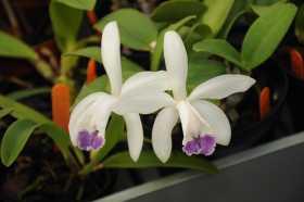 Graines Cattleya intermedia coerulea