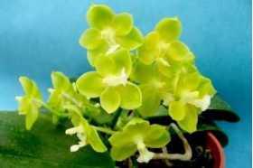 """Phalaenopsis Su Ann Cricket """"SW"""""""