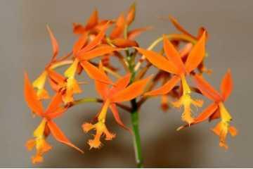 Epidendrum cinnabarinum