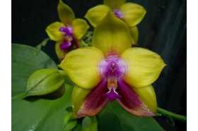 Phalaenopsis Dragon Tee Eagle DT168