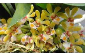 Gastrochilus obliquus