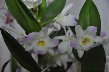 Dendrobium Nobilae blanc et rose