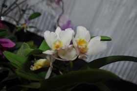 Cattleya hybride blanc et jaune