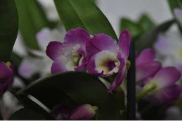 Dendrobium Nobilae fushia