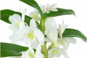 Dendrobium Nobilae blanc