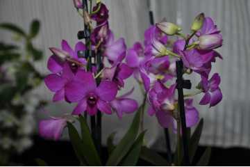 Dendrobium type Phalaenopsis rose pâle