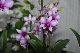 Dendrobium type Phalaenopsis blanc et grenat