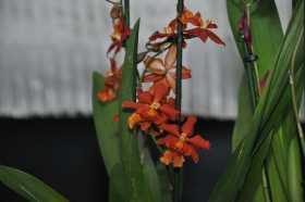 Cambria Orange