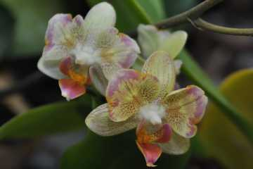 Phalaenopsis Little Bee