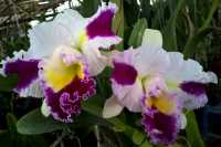 Cattleya Patchara Fancy