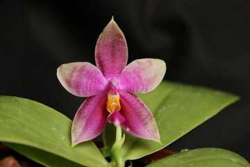 Phalaenopsis Princess Kaiulani
