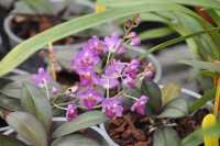 Phalaenopsis San Shia Appendo