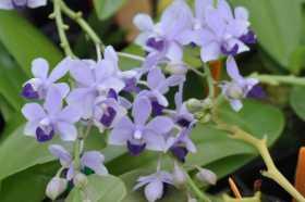 Phalaenopsis Tzu Chiang Sapphire 'blue'