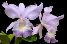 Cattleya Sea Breeze