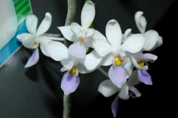 Phalaenopsis equestris var blue